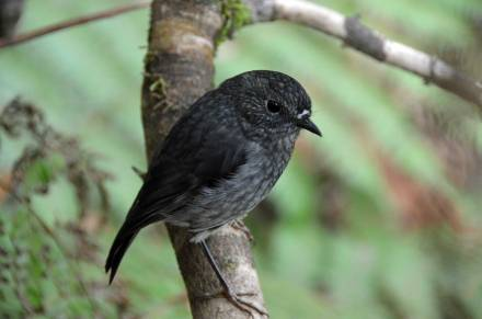 North Island robin, recovering