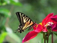 Swallowtail3