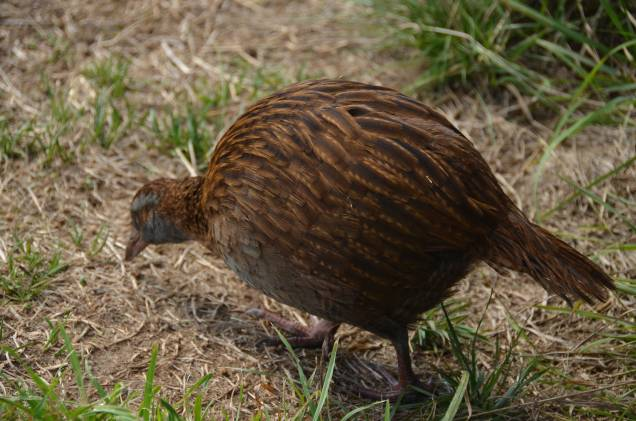 Weka, benign looking but hard on other birds. They are sometimes removed to help kiwis recover.