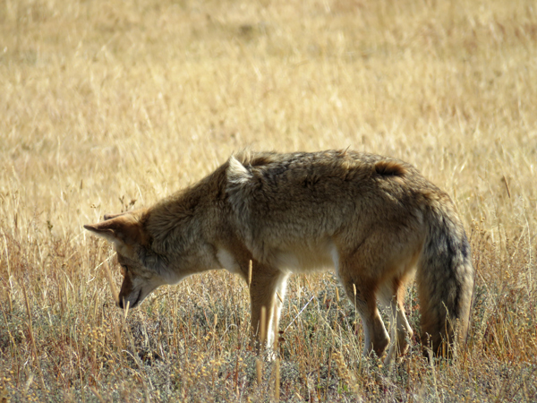 coyotehunting