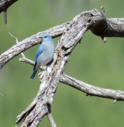 Mountain bluebird on stump