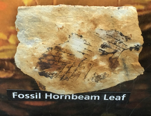 So very cool- display of leaves by a protected hill of fossils