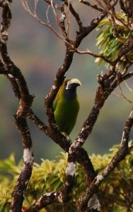greentoucan