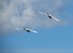 redrocksswans