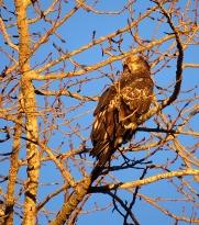 Juvenile eagle, New Years Day sunrise