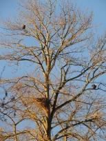 Parent eagles, by nest, sunrise