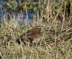 Sparrow, Samish Flats